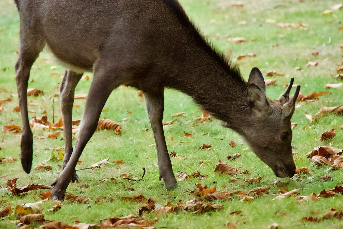 Sika Deer on Brownsea Island in Dorset