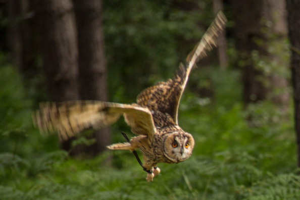 Squeak, a long eared owl, at Sherwood Hideaway Near Ollerton, Notts, UK