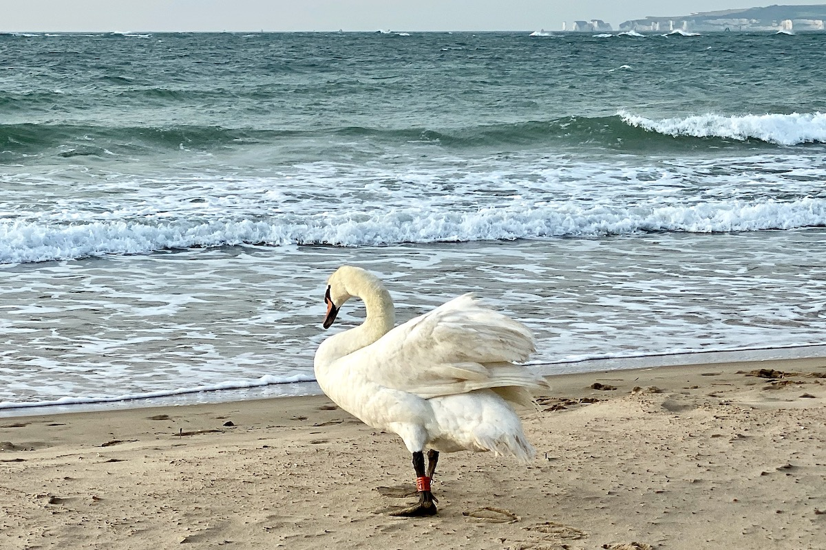 Swan Taking a Walk on Sandbanks Beach