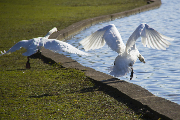 Swans taking off  in Verulamium Park St Albans