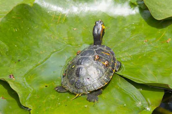 Terrapin in the pond in the botanical gardens in Lucca, Tuscany in Italy