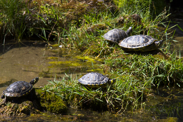 Terrapins enjoying the sun  in the Villa Comunale gardens in Salerno, Italy