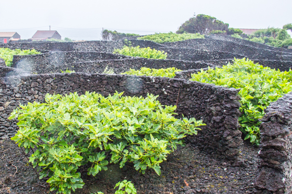 The cultivation of figs on Pico Island in the Azores