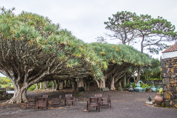 The dragon tree shrine at the Museo do Vinho on Pico Island in the Azores