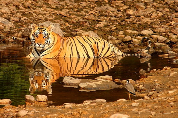 Tiger cooling off at Ranthambore in India