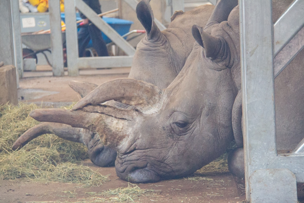 White rhino at Marwell Zoo in Hampshire
