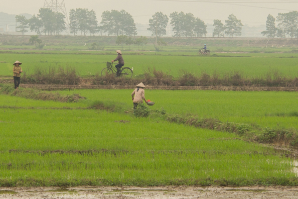Working in the paddy fields in Vietnam